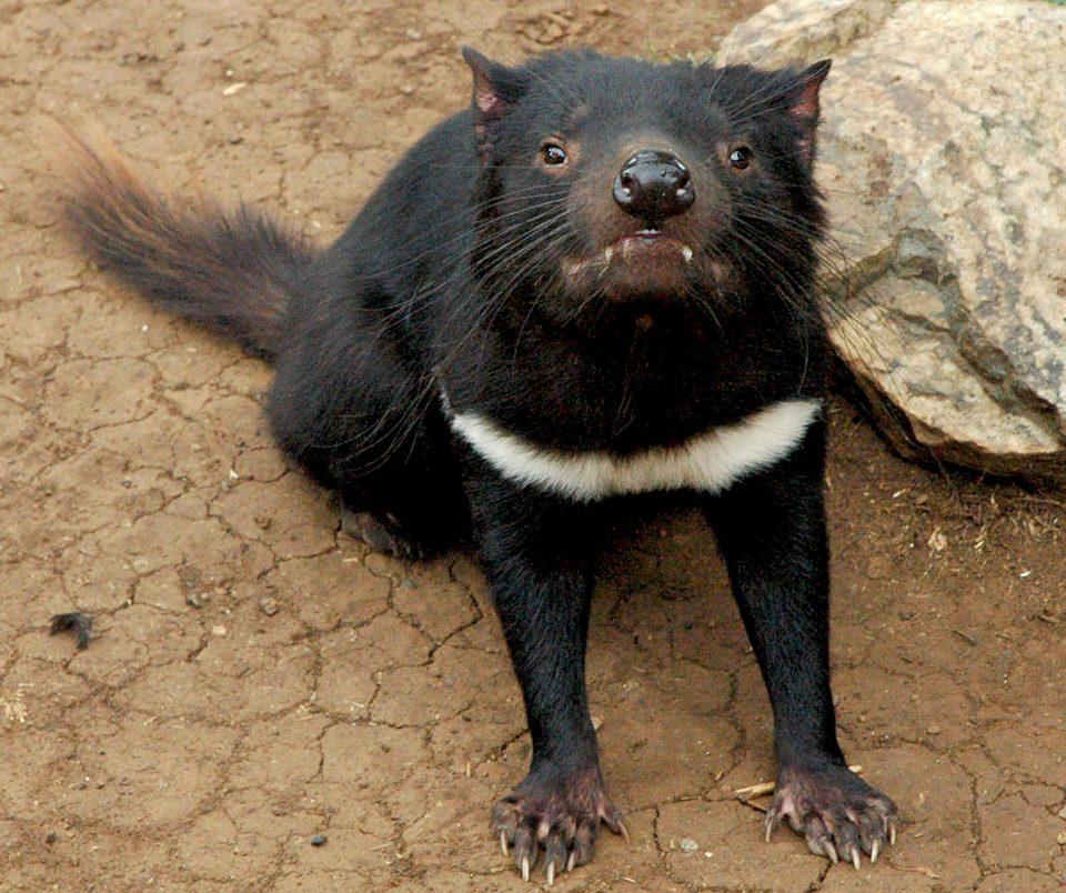 развлечения на островах. Животные Тасмании. Тасманийский дьявол