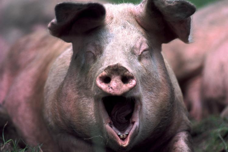 животные на войне. Свинья