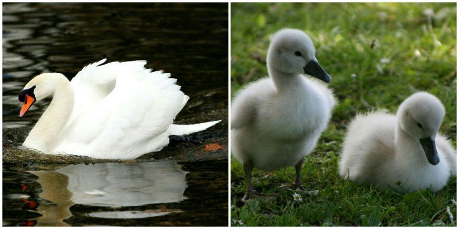 белый лебедь