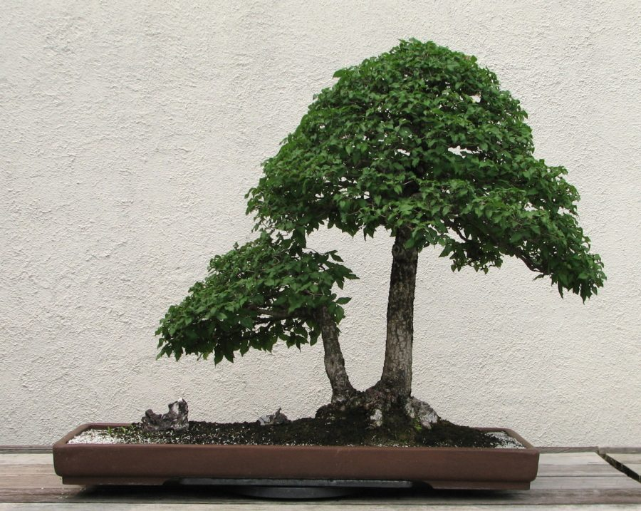 Искусство бонсай удивительные деревья