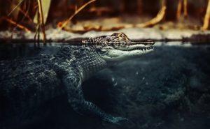 Глаза крокодила: загадки и новые факты
