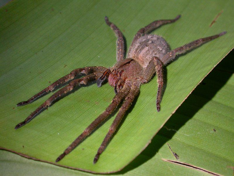 паук банан