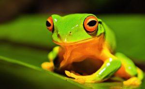 Ярко окрашенные лягушки древолазы и листолазы1