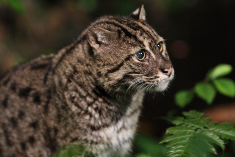 кошка сафари1