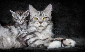 кот Мей-кун фото
