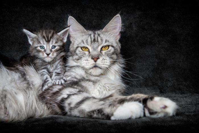 Мейн-кун, ну очень благородные коты