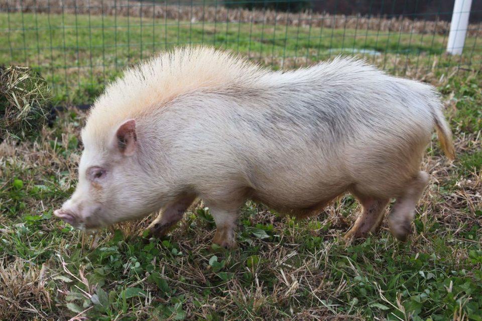 Мини-пиги