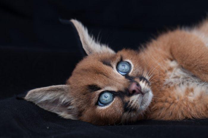 Мы нашли невероятно крутой вид кошек! Знакомтесь — дикий Каракал