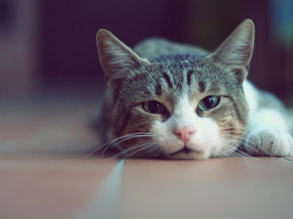 кошки мурчат