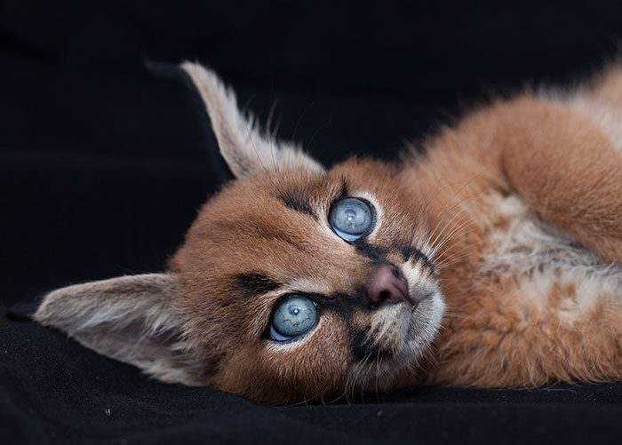 cute-baby-caracals-70-57fb80ad77cfb__700