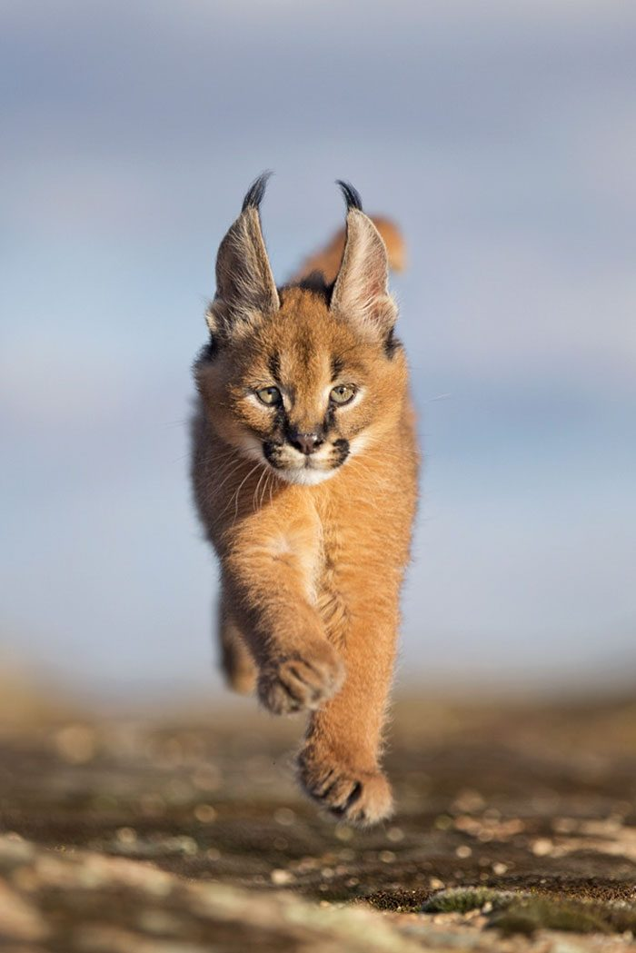 cute-baby-caracals-72-57fb86ba6cdcd__700
