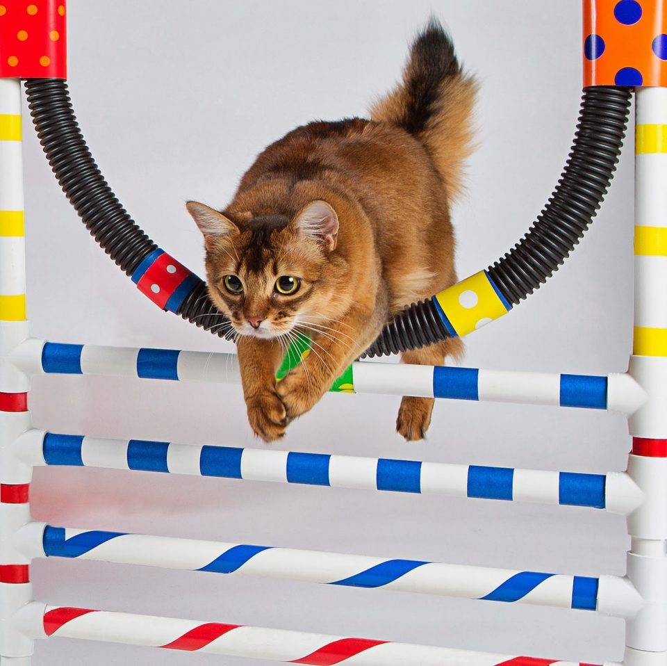 Прыжки через обруч кошка