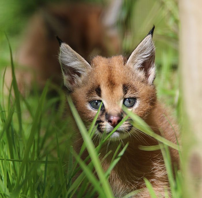 cute-baby-caracals-11-57fb5f0b240d2__700