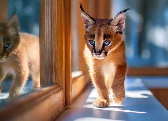 cute-baby-caracals-16-57fb617ac8f7e__700