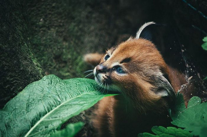 cute-baby-caracals-18-57fb6239c78bc__700
