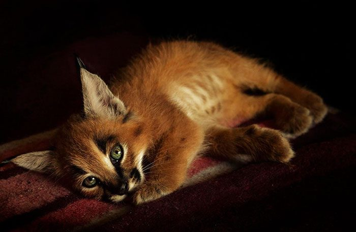cute-baby-caracals-19-57fb76a7db580__700