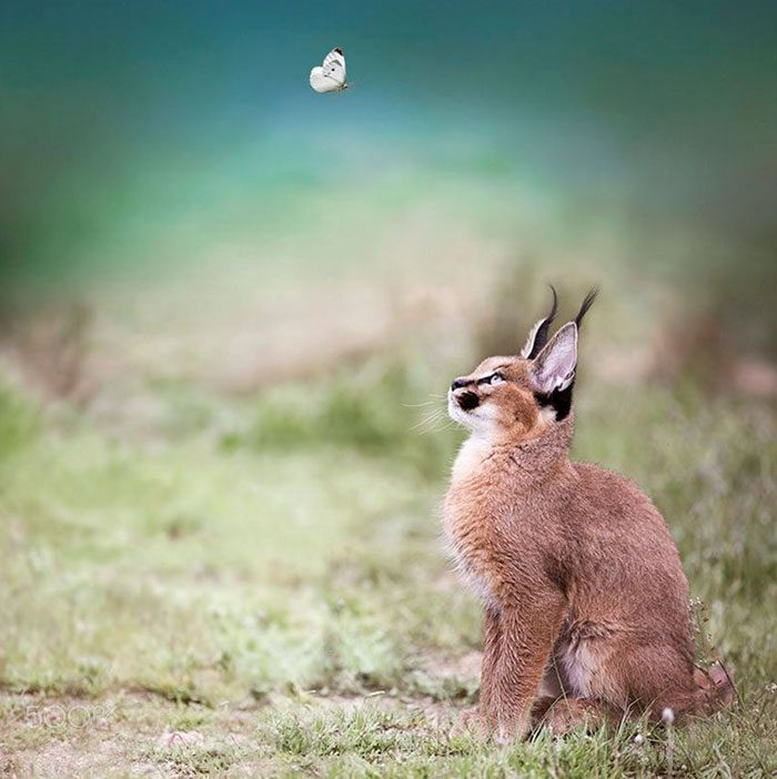 cute-baby-caracals-20-57fb7735da5a8__700
