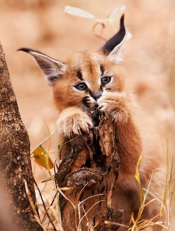 cute-baby-caracals-23a-57fb785889550__700