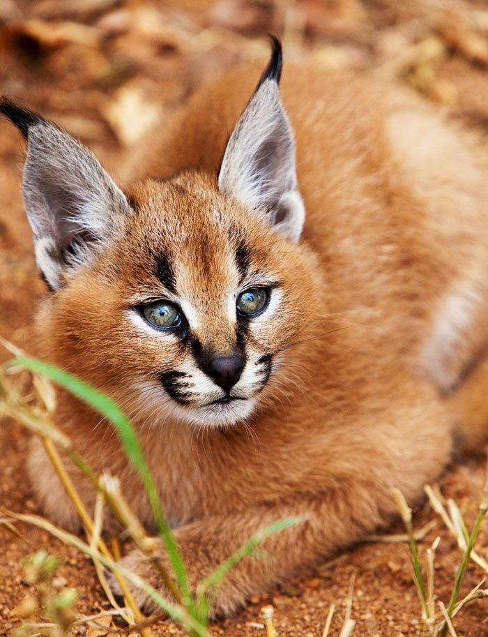 cute-baby-caracals-24-57fb78e6c26be__700