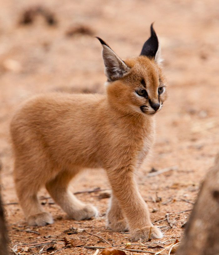 cute-baby-caracals-3-57fb58d9bc790__700