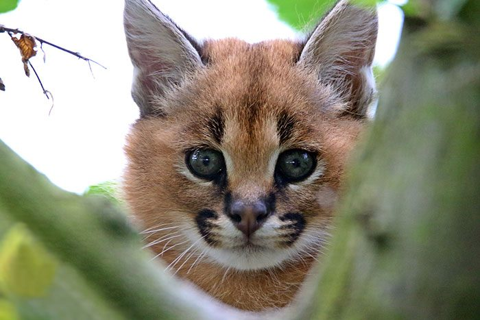 cute-baby-caracals-73-57fb8a1c069e8__700