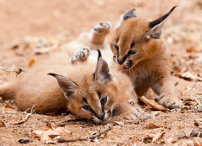 cute-baby-caracals-75-57fb8e0b25b79__700