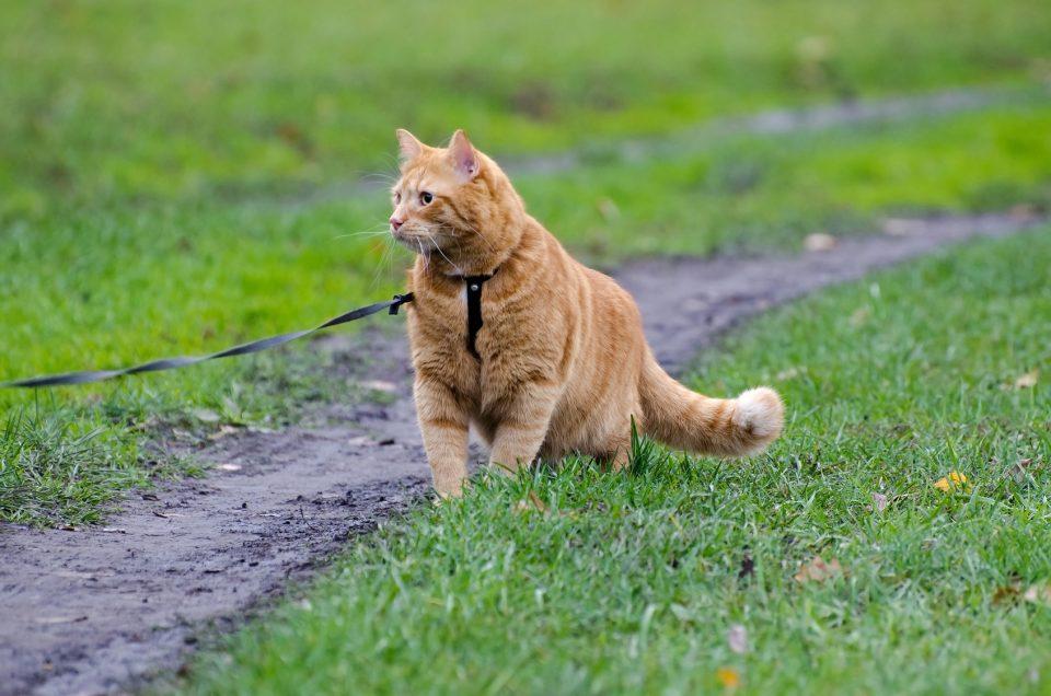 Ходьба на поводке кошка