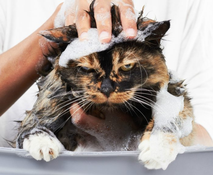 Как купать кошку правильно?