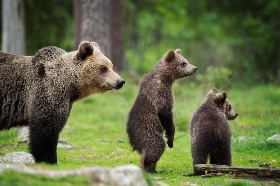 медведицы и медвежата