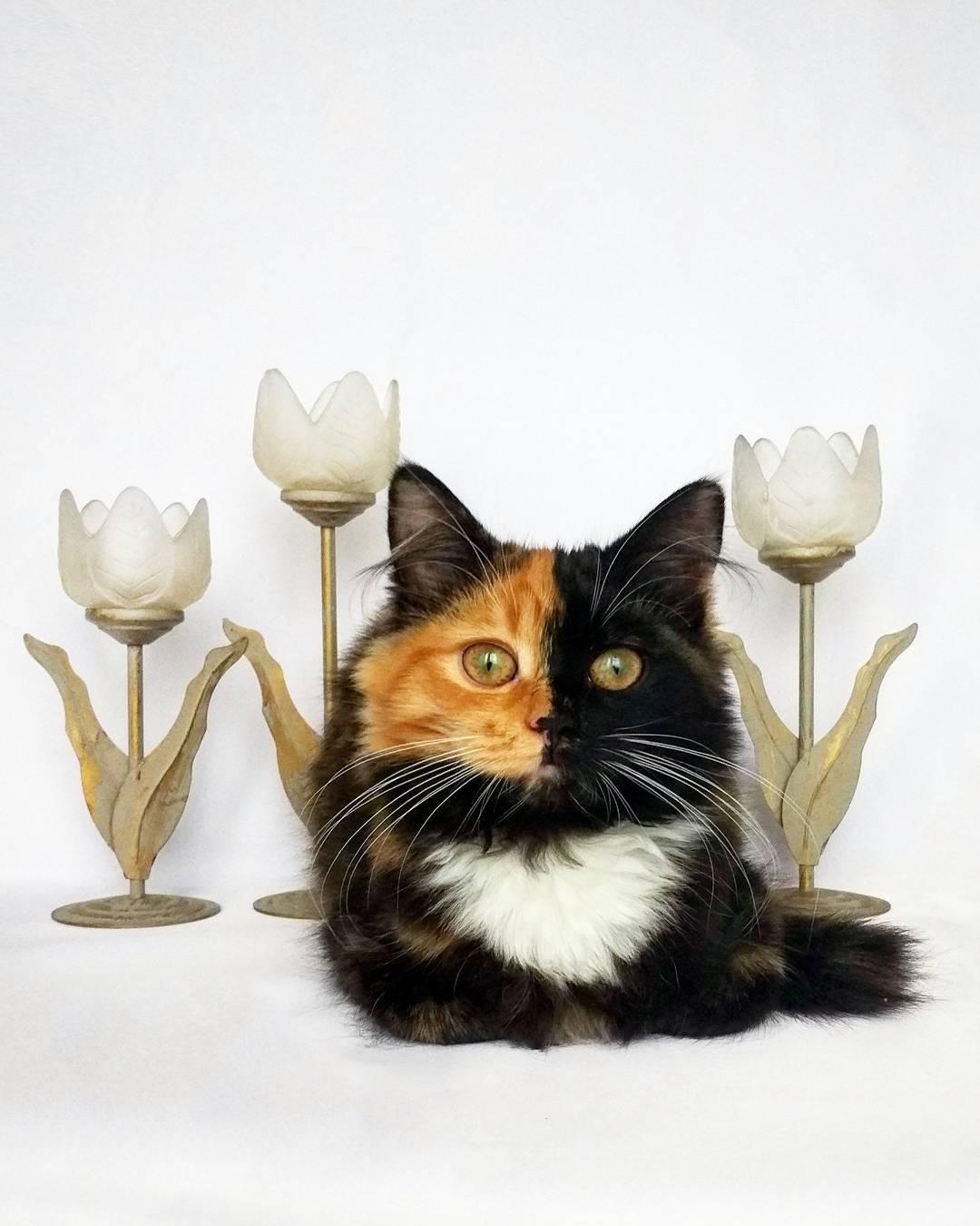 двухцветный окрас кошки