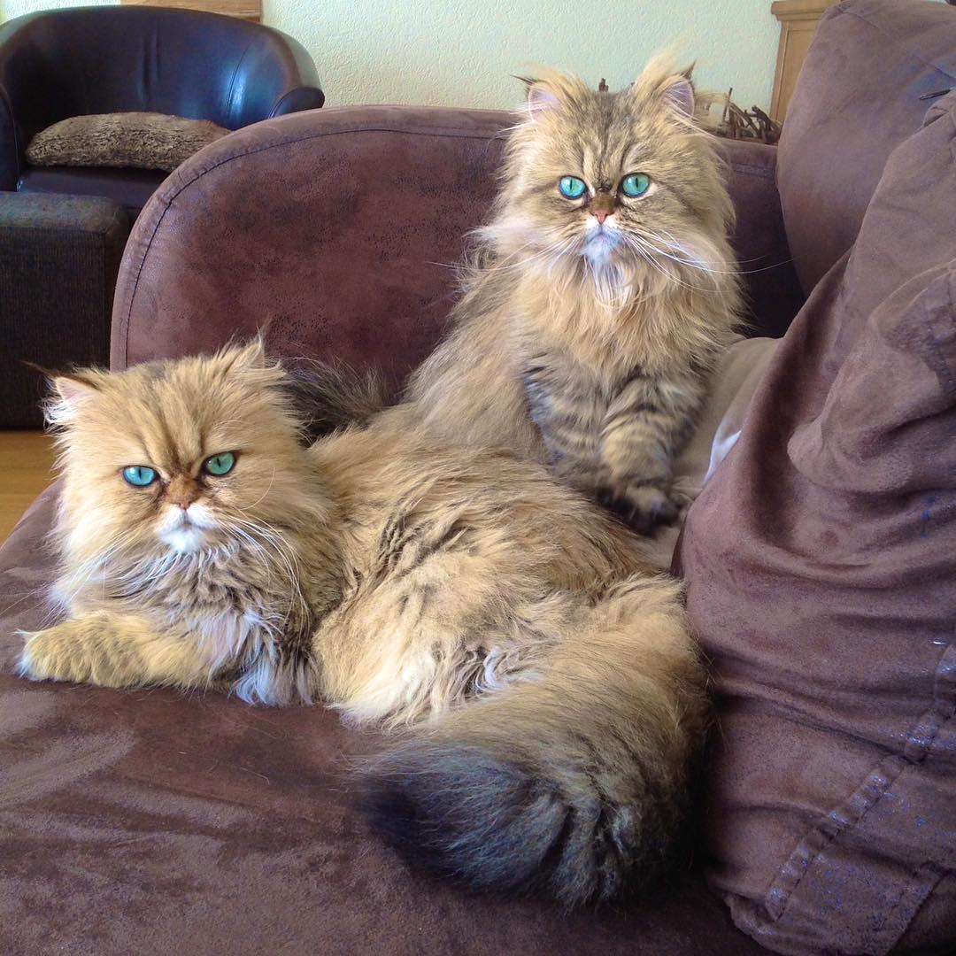 Персидский кот Перс