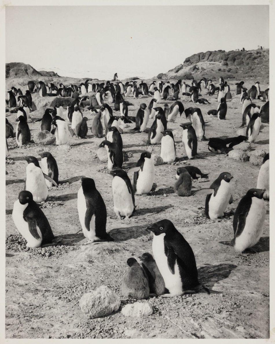 Колонияпингвинов Адели на мысе Ройдс