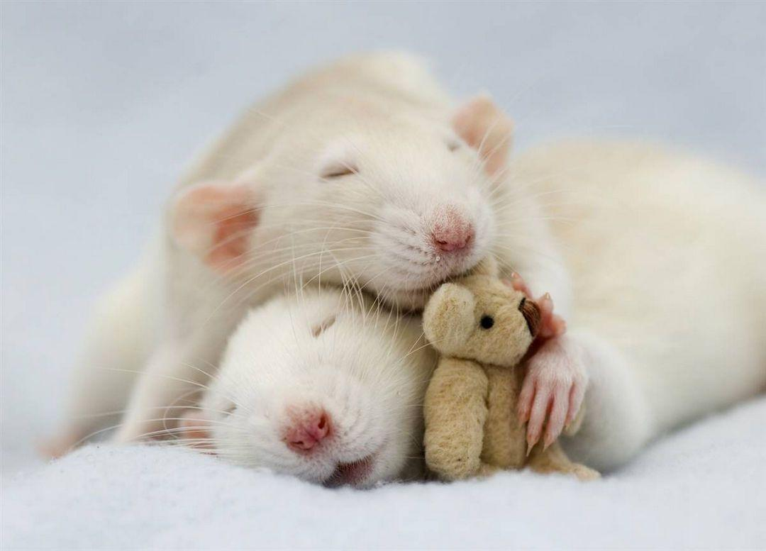Крысята, хомячата, поросята