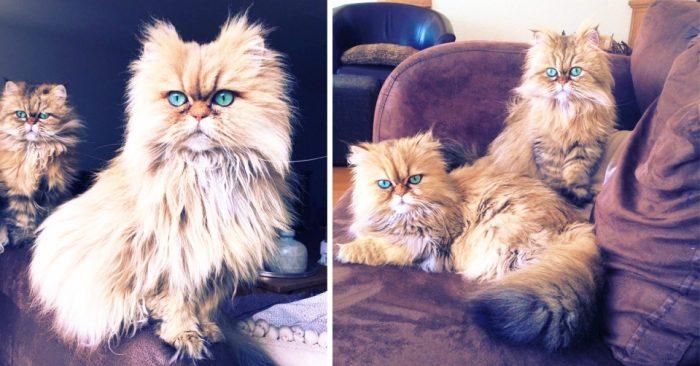 Лили и Эви — золотистые персидские кошки с изумрудными глазами