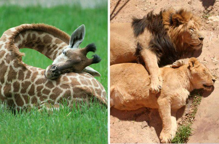 25 интересных фактов как спят разные животные