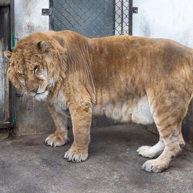 толстые тигры