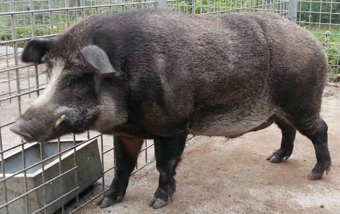 Свинья железного века