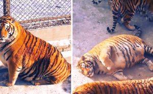 толстый тигр