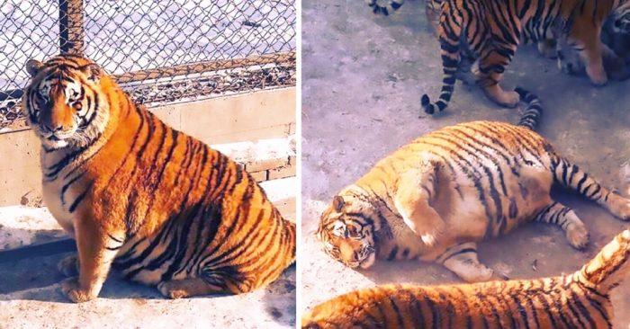 В китайском зоопарке растолстели тигры. Но в этом нет ничего смешного!