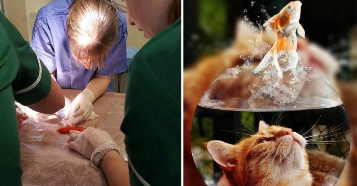 Семья тратит 250$, чтобы удалить опухоль у их 20-летней Золотой рыбки