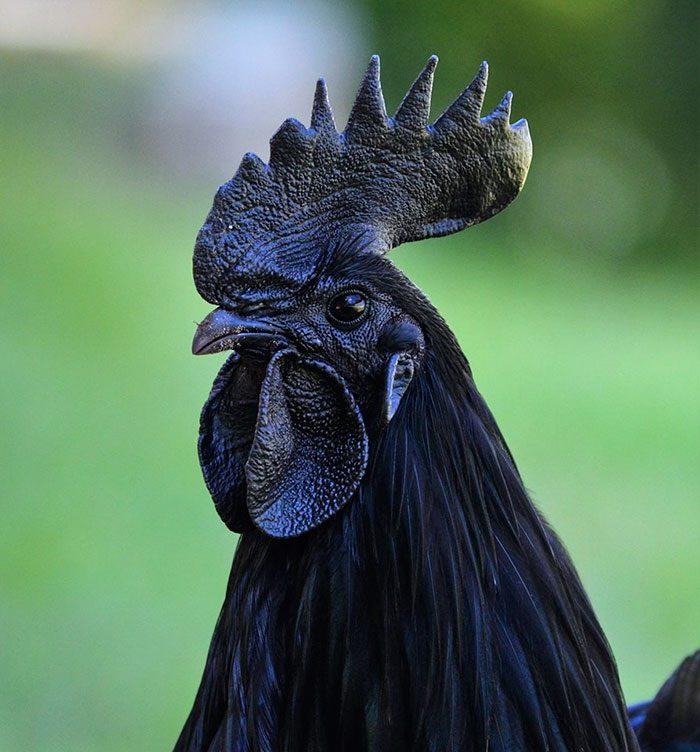 черный петух