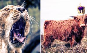 львица буйвол