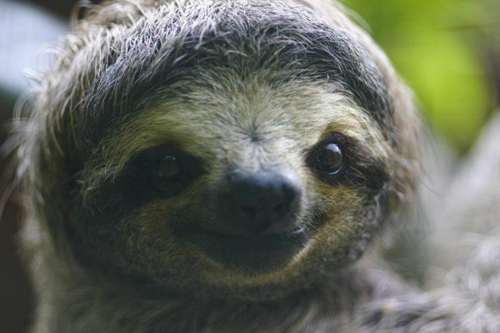 Посмотрите, как спасенные детеныши ленивца разговаривают, и попробуйте не улыбнуться
