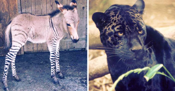 Животные-гибриды: вы тоже не знали, что такие существуют в реальности?