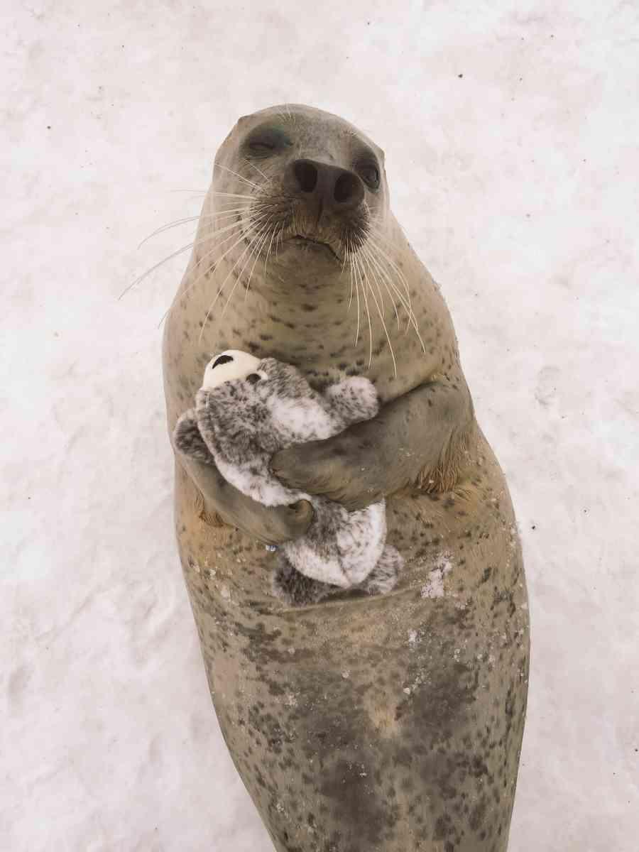 милый тюлень