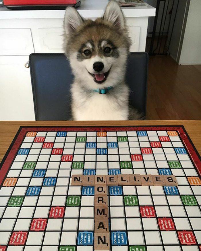 Норман — щенок хаски и померанского шпица