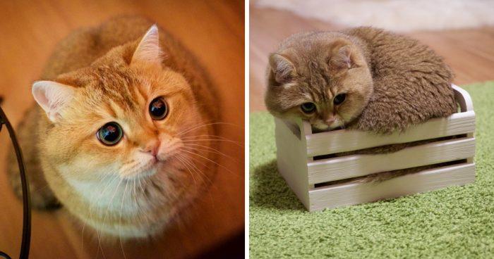 Знакомьтесь с Хосико — настоящим котом в сапогах из Шрека