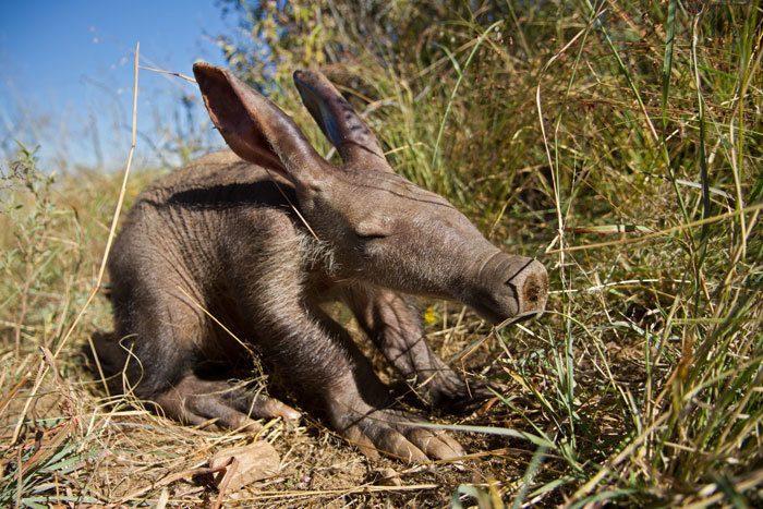 Малыш трубкозуба