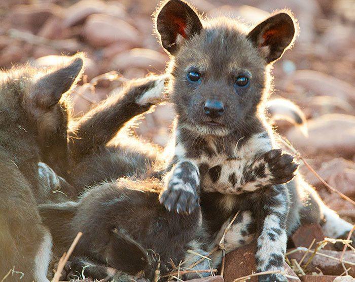 Щенок африканской дикой собаки