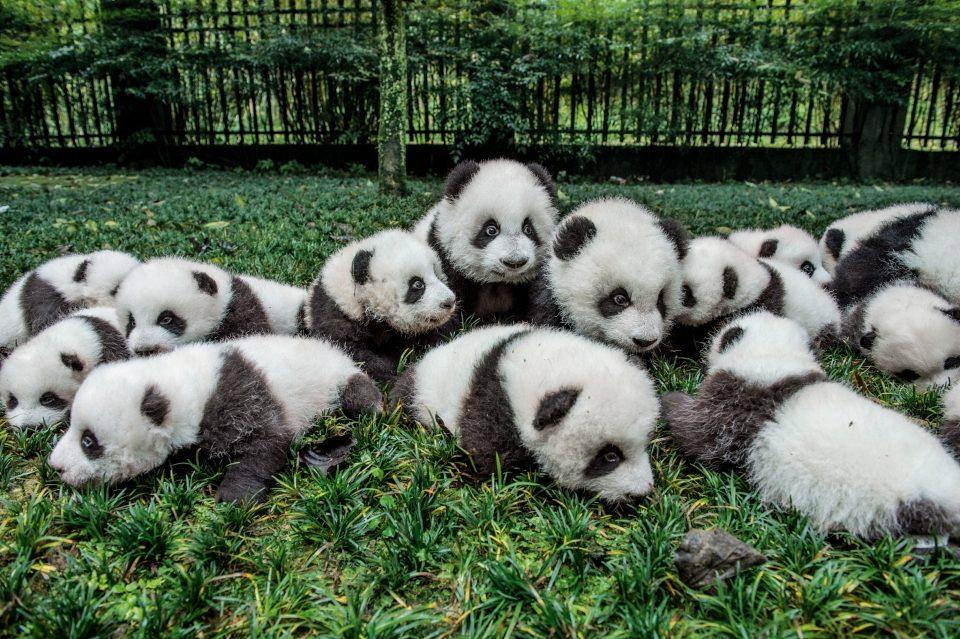 панда расцветка